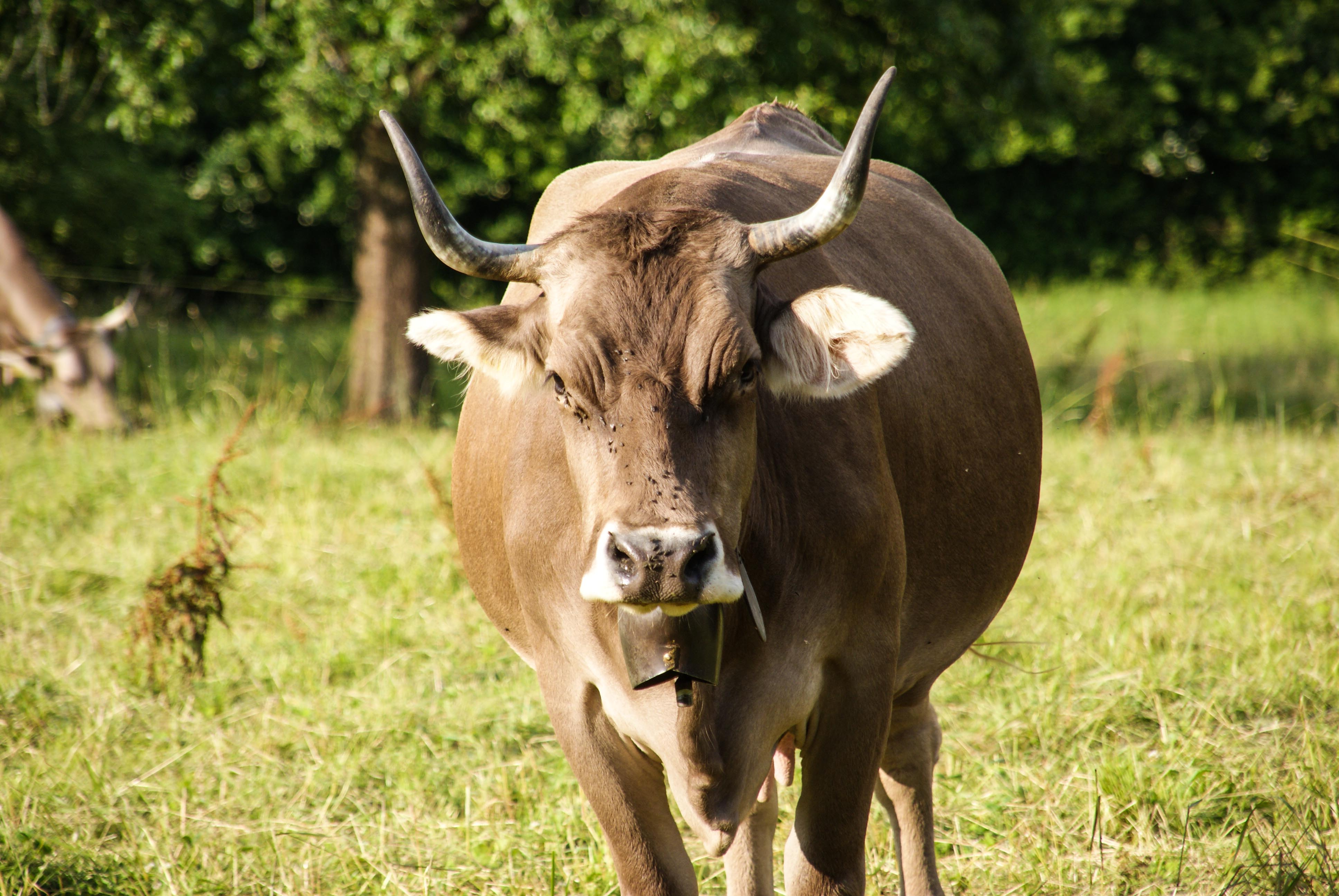 Brown And White Cows With Horns