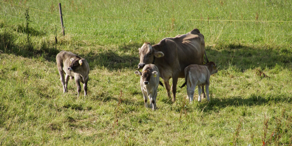 Three baby cows!